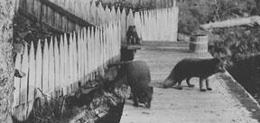 Fox Farming 1917 To 1941